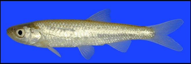 Federal protections are being sought for the Rio Grande shiner, a small fish that dwells in the Pecos River.