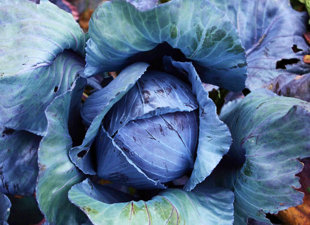San Diego Seed Company recommends starting red acre cabbage seeds in a cool environment. Photo via Facebook/San Diego Seed Company
